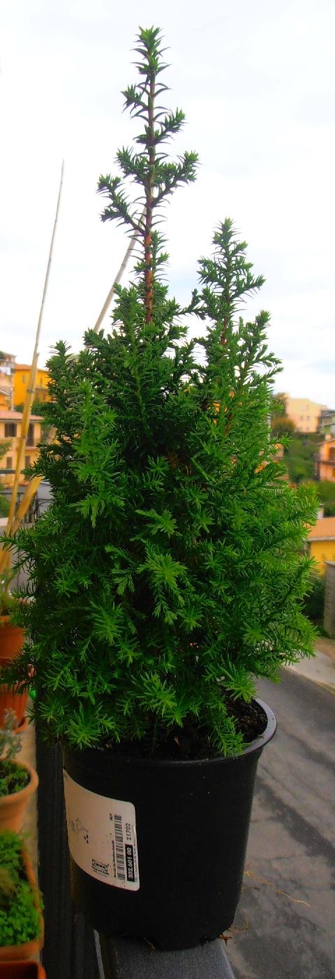 Forum bonsai leggi argomento presunto cipresso da palestra for Cipresso in vaso