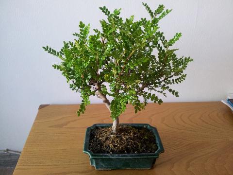 Forum bonsai leggi argomento scelta del mio primo for Bonsai pepe
