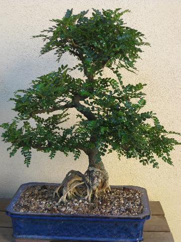 Forum bonsai leggi argomento neofita con falso pepe for Bonsai pepe