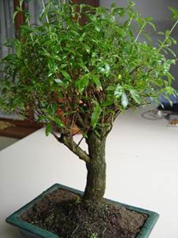Forum bonsai leggi argomento limone da seme nuovo for Bonsai limone vendita