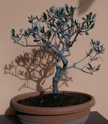 Forum bonsai leggi argomento olivo in difficolt for Acquisto piante olivo