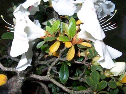 Forum bonsai leggi argomento azalea con foglie gialle - Azalea foglie ...