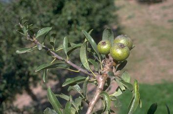 Forum bonsai leggi argomento pero selvatico for Pirus pianta