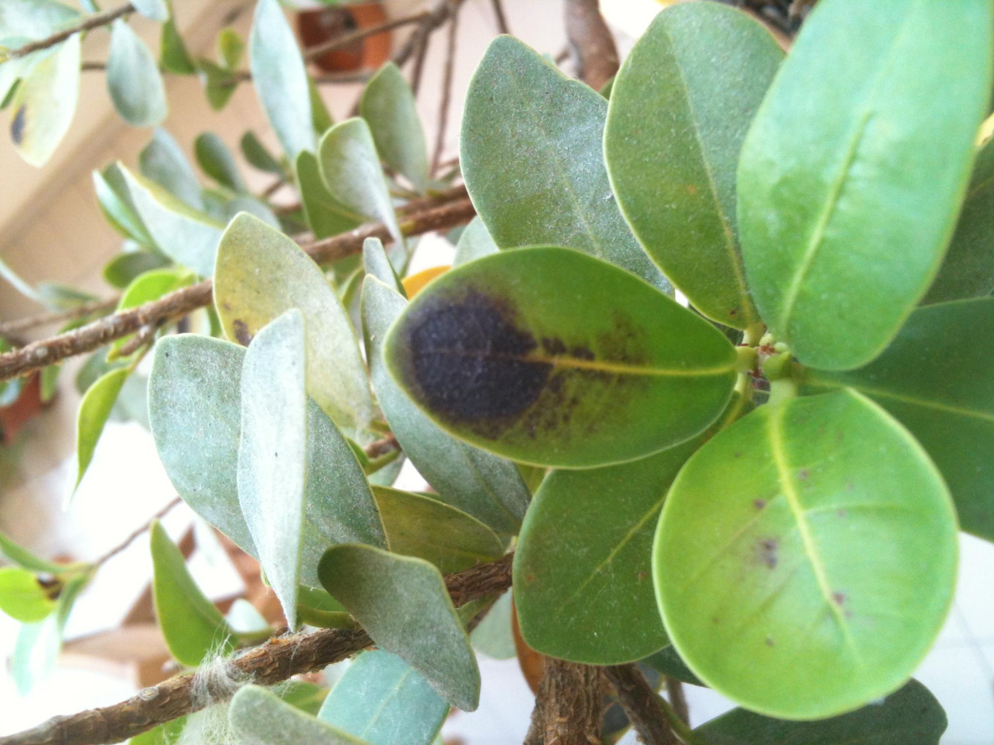 Ficus ginseng con foglie macchiate - Foglie limone nere ...