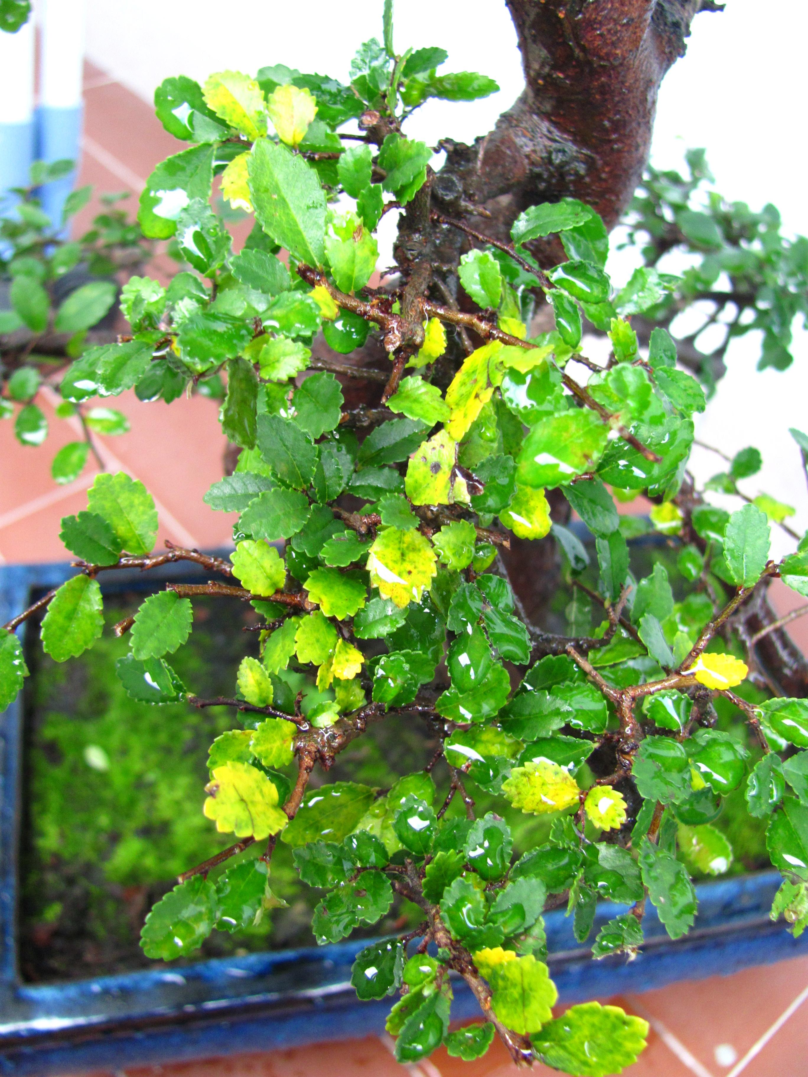 Ortensie Foglie Gialle : Olmo foglie gialle bonsaiclub