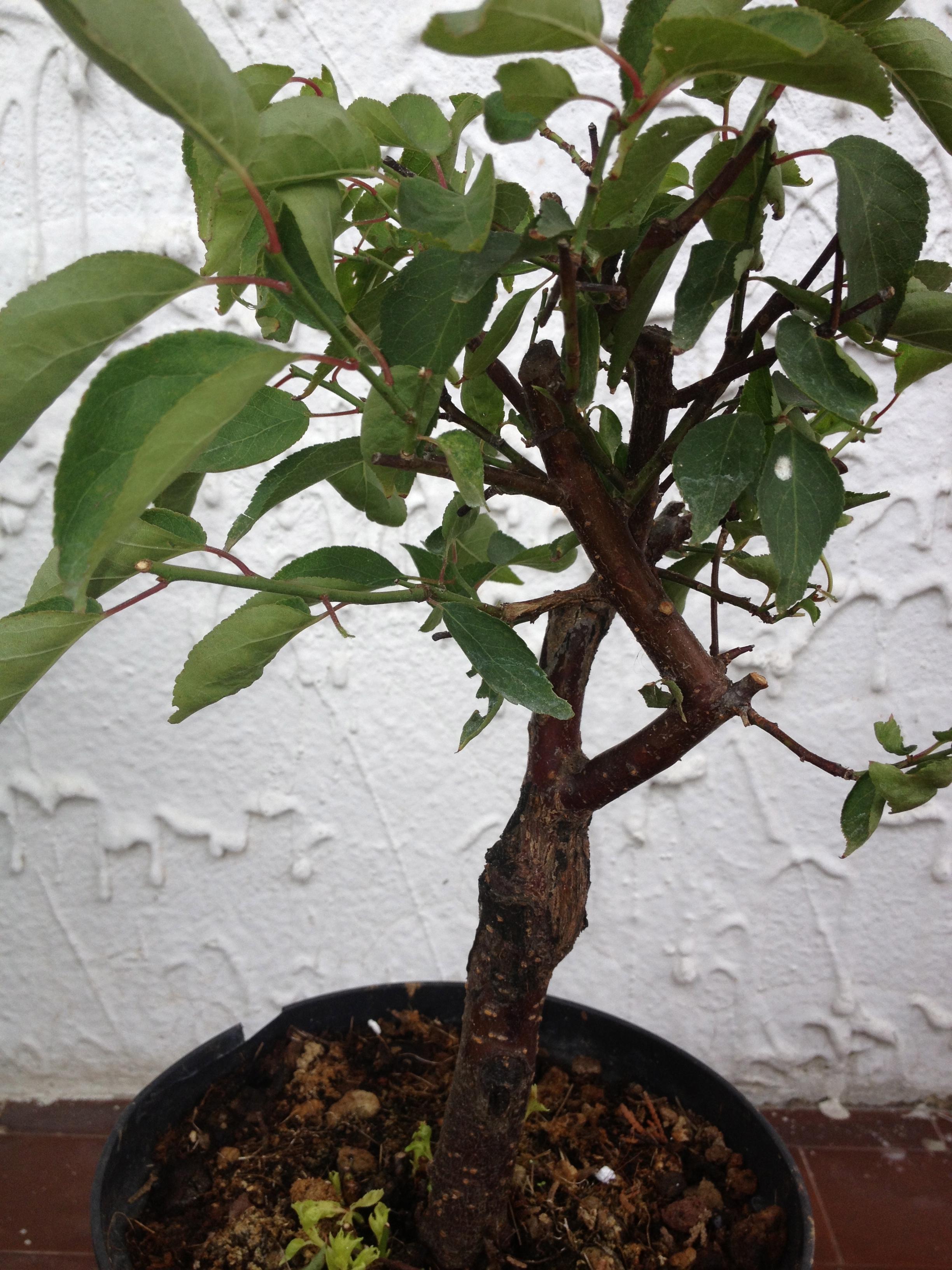 Vasi bonsai for Bamboo coltivazione