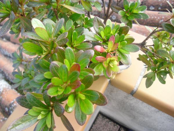 Domandina sulla mia azalea - Azalea foglie ...