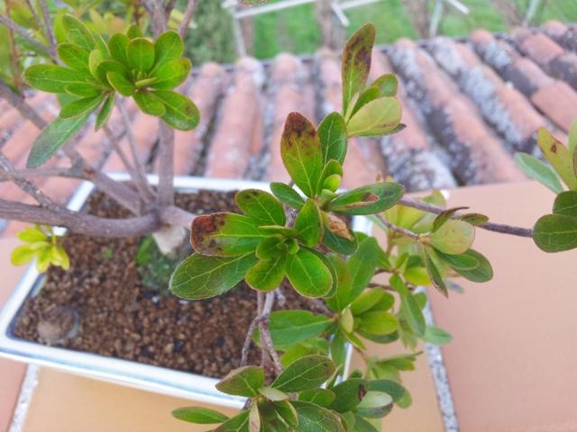 Problemi con le foglie della mia azalea - Azalea foglie ...