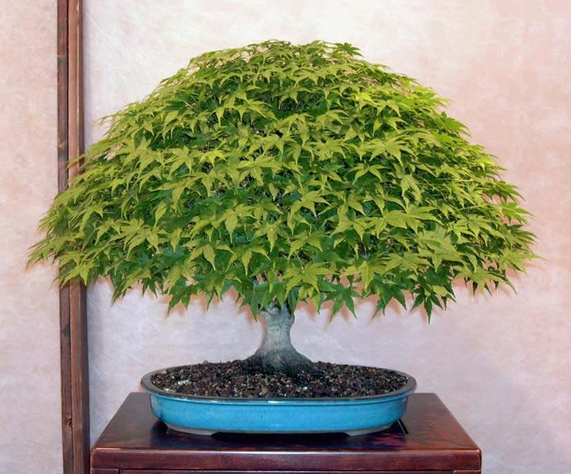 Il mio primo bonsai pagina 3 for Acero bonsai vendita