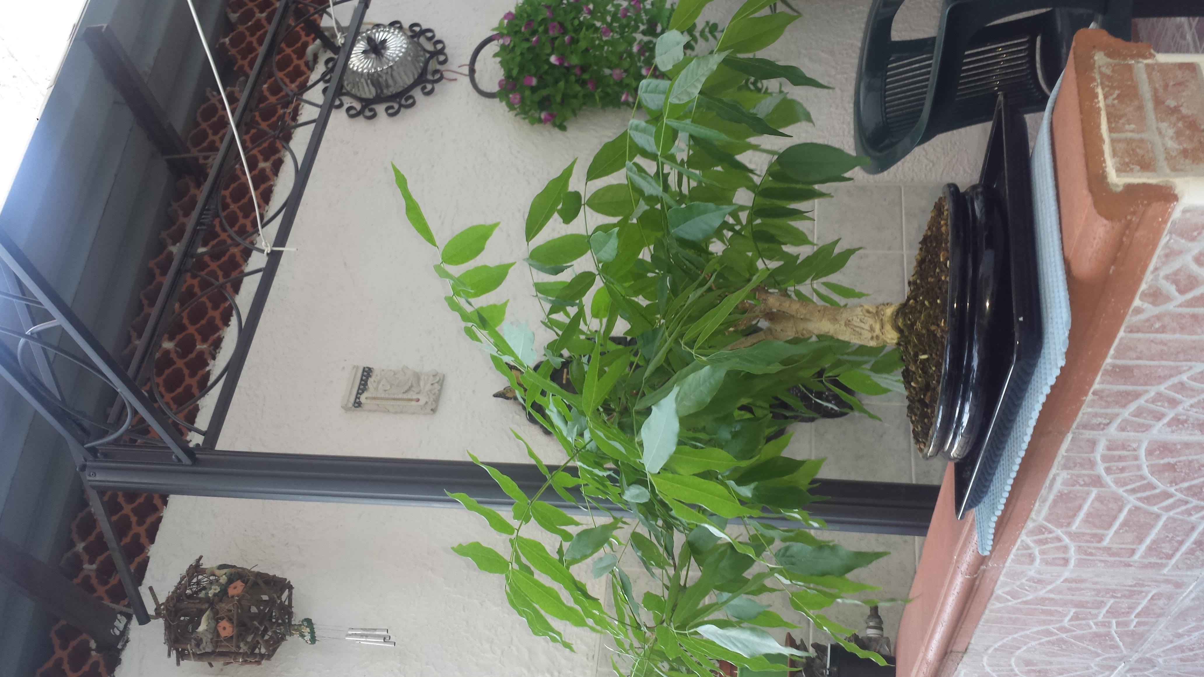 Quando Potare Il Glicine richiesta consigli per glicine bonsai - bonsaiclub.it