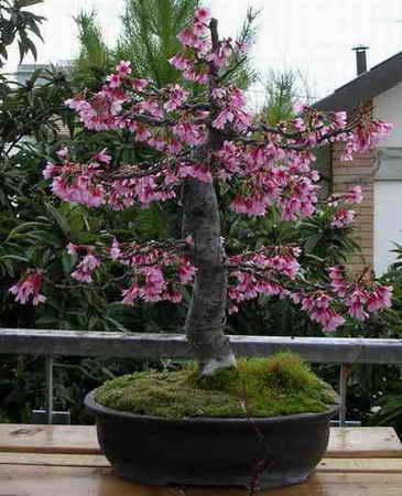Prunus avium for Bonsai ciliegio