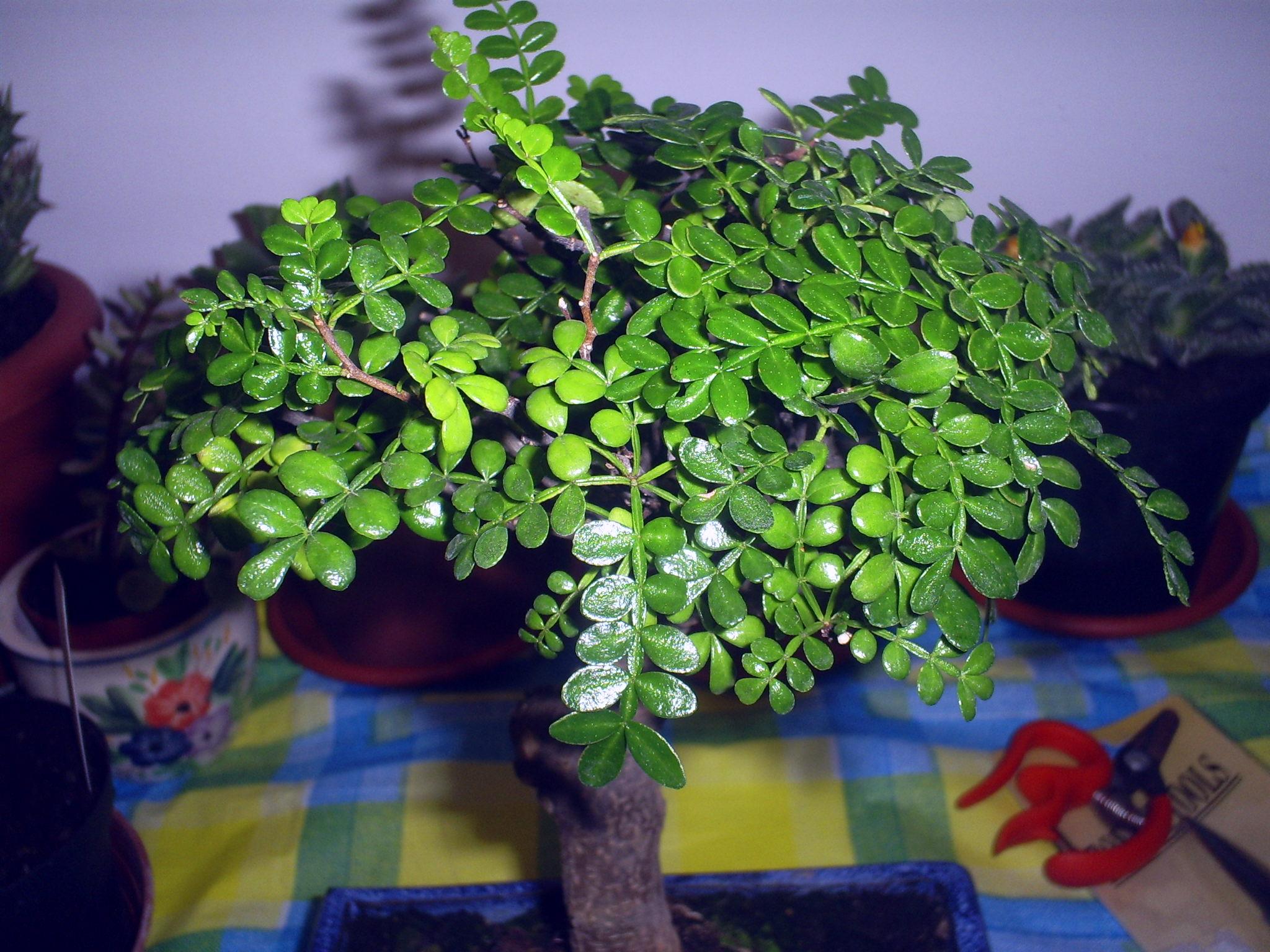Il mio secondo bonsai falso pepe for Bonsai pepe