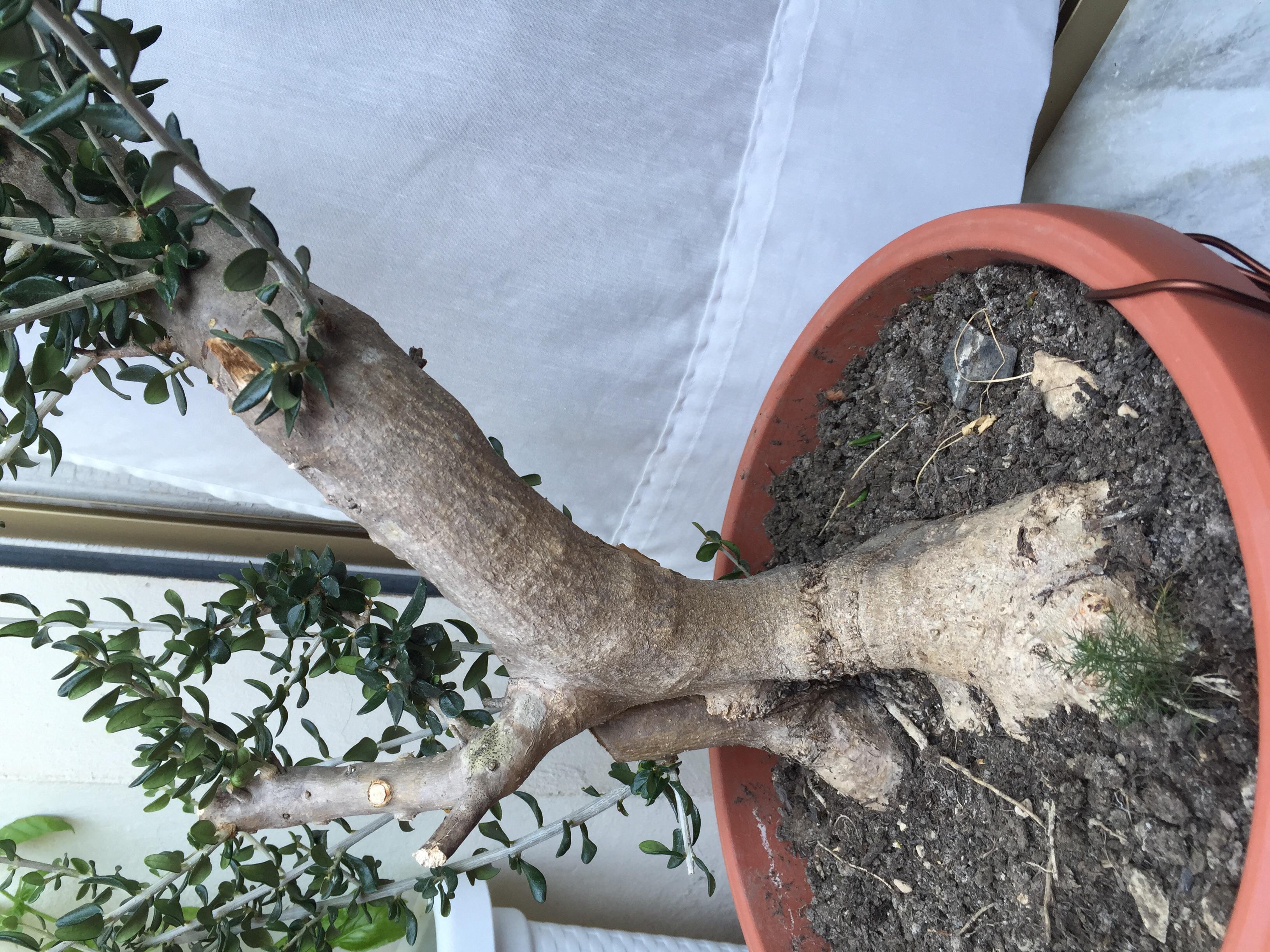 Chiedo aiuto per grazioso olivo for Acquisto piante olivo