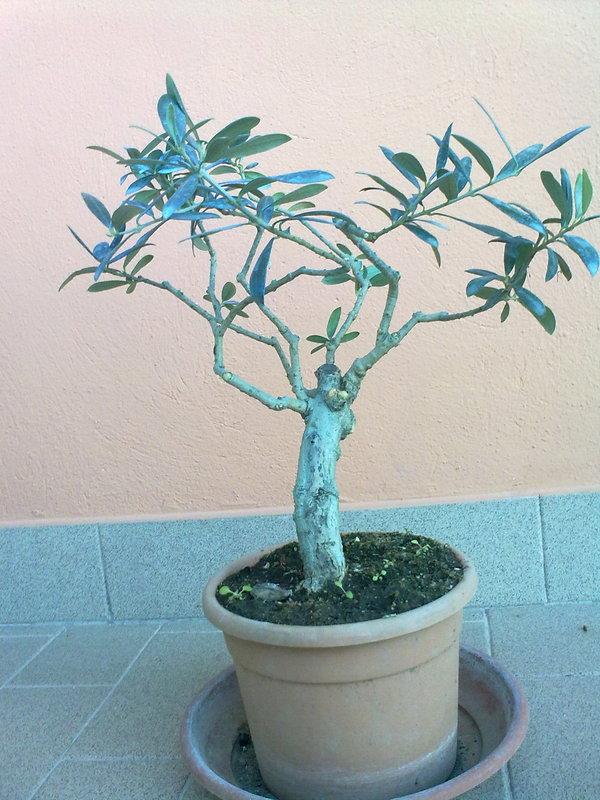 Potatura e modellatura prebonsai di olivo for Potatura limoni in vaso