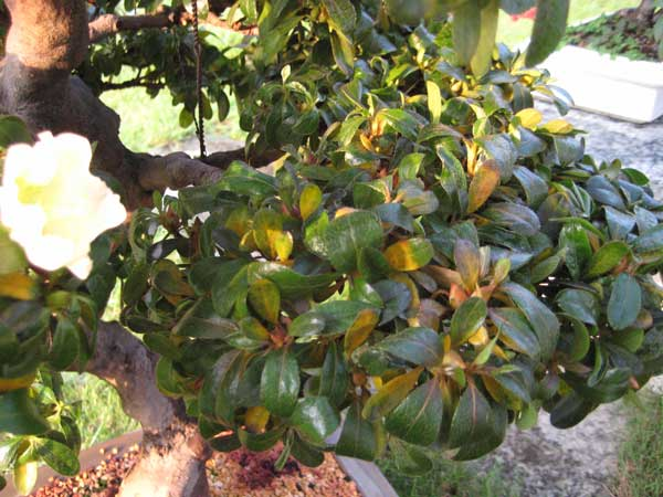 Strane foglie gialle su azalea - Azalea foglie ...