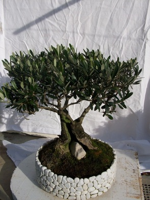 Wow dove si trovano questi vasi bonsai for Bonsai vasi