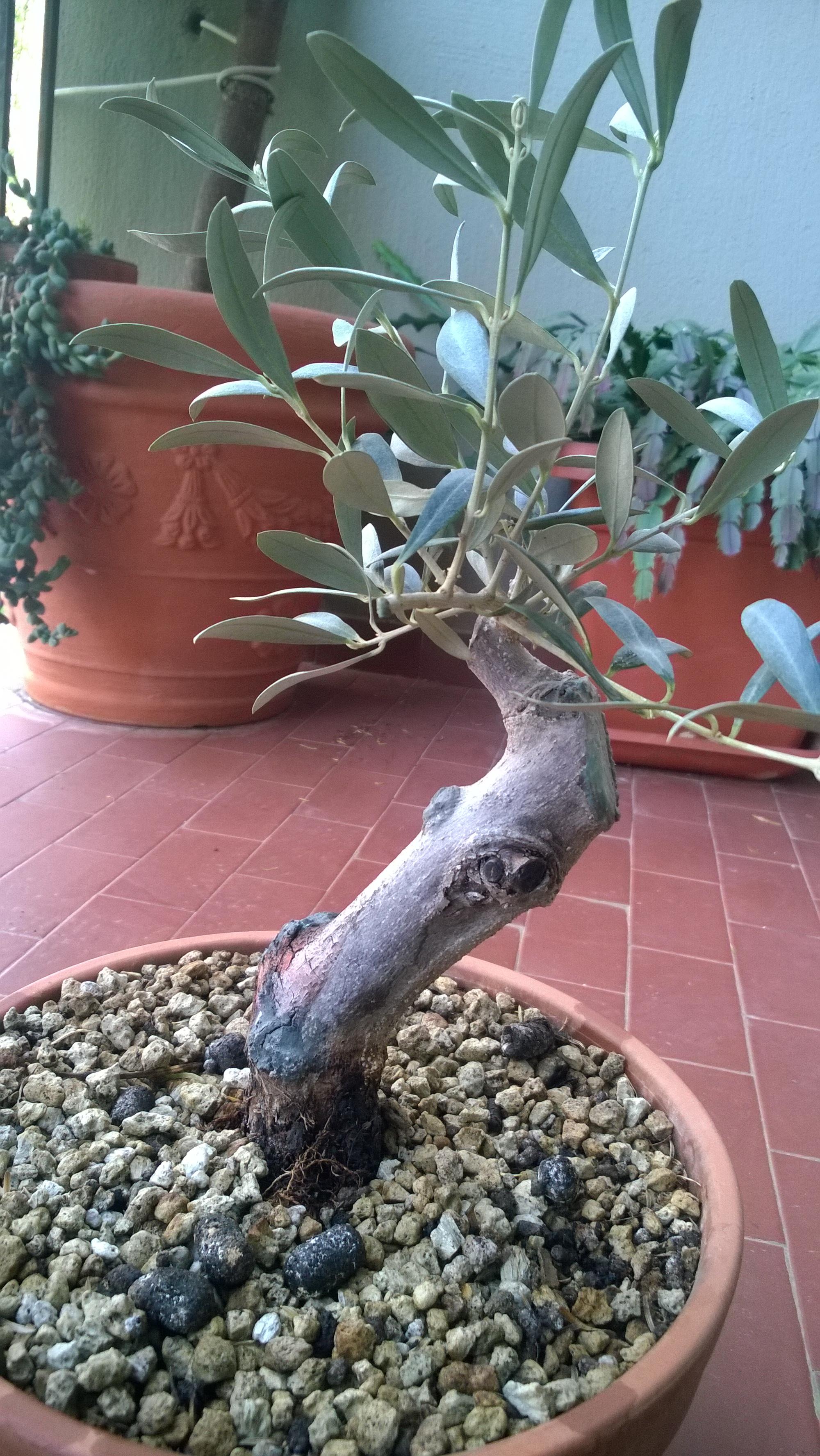 Consigli su come potare un olivo da margotta for Dove comprare bonsai