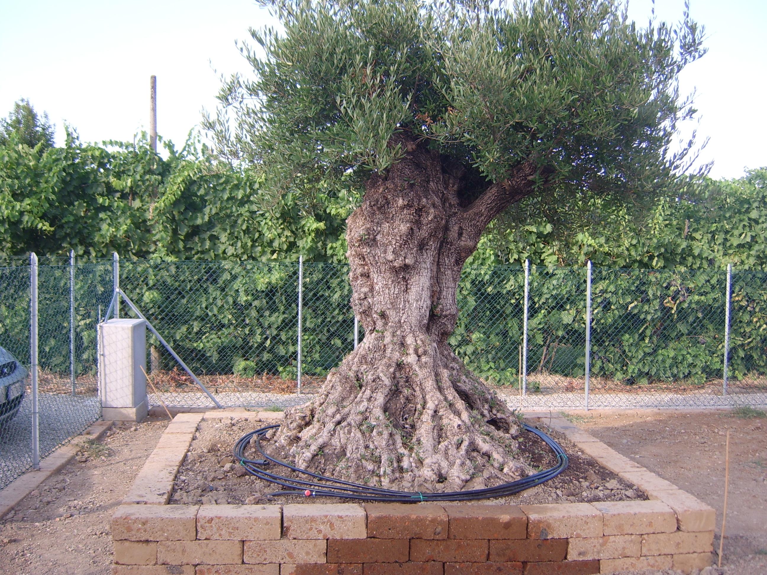 Vi presento henry il mio ulivo secolare - Giardino con ulivo ...