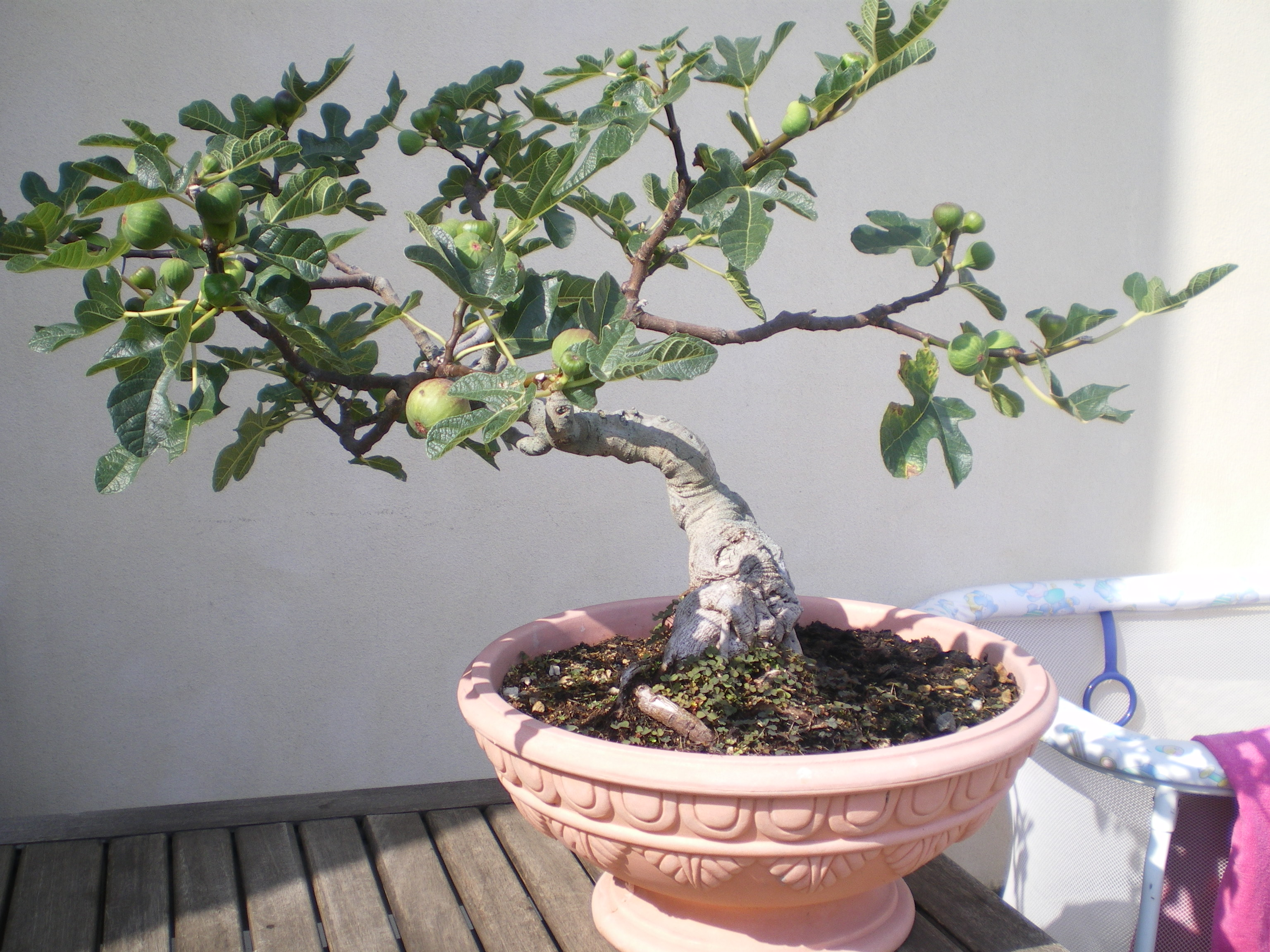 how to clean a ficus tree