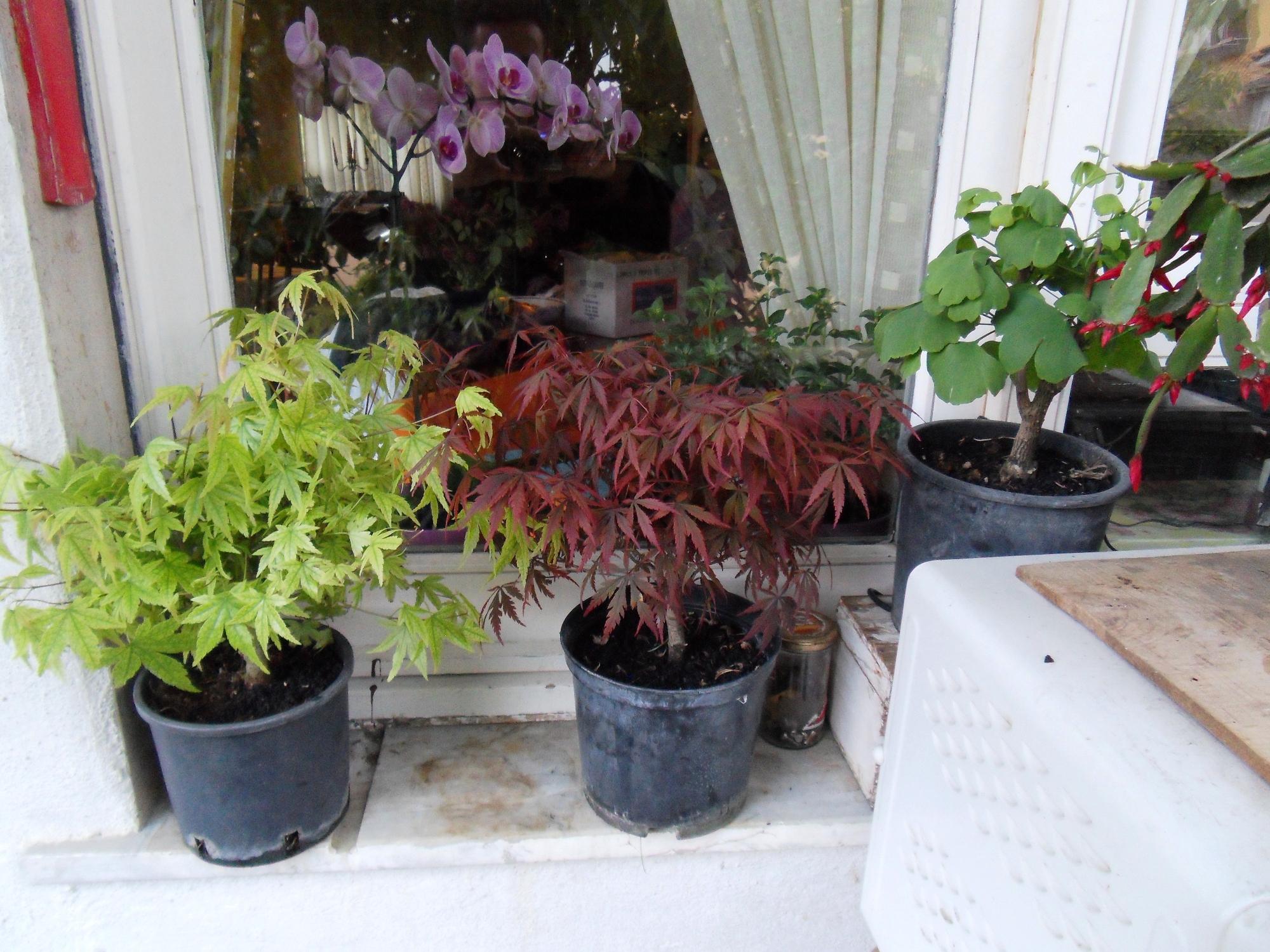 Vivaio Acero Rosso : Pre bonsai da vivaio cosa fare? bonsaiclub.it